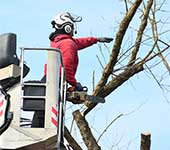 Rigging section of tree for removal; note the use of wireless communication our team uses to work efficiently