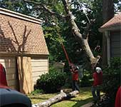 Tree removal team working in tight space to safely remove a large tree